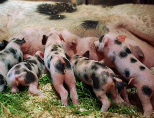 Biggetjes bij Kinderboerderij Wezenlanden